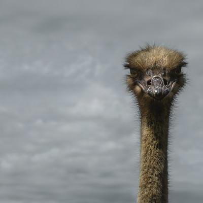 「無言で凝視するダチョウ」の写真素材