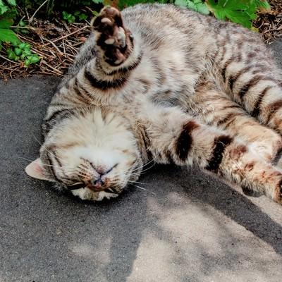 「寝転ぶ猫」の写真素材