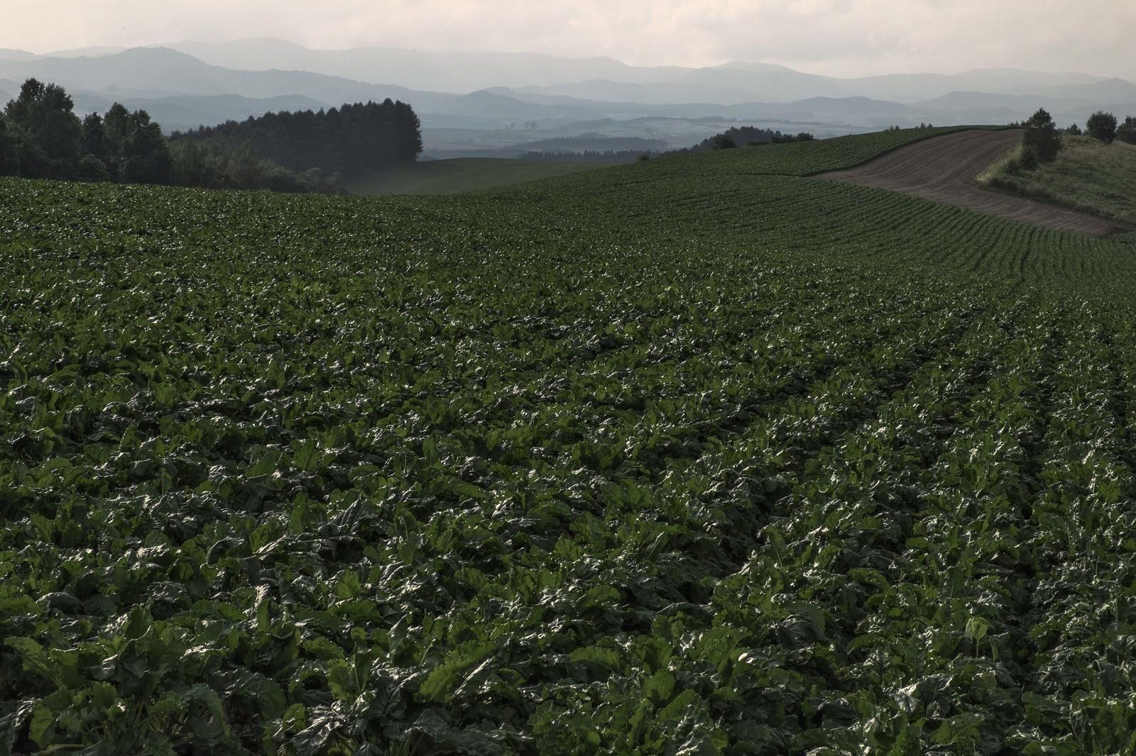 「一面に広がる畑」の写真