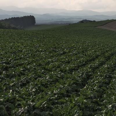 「一面に広がる畑」の写真素材