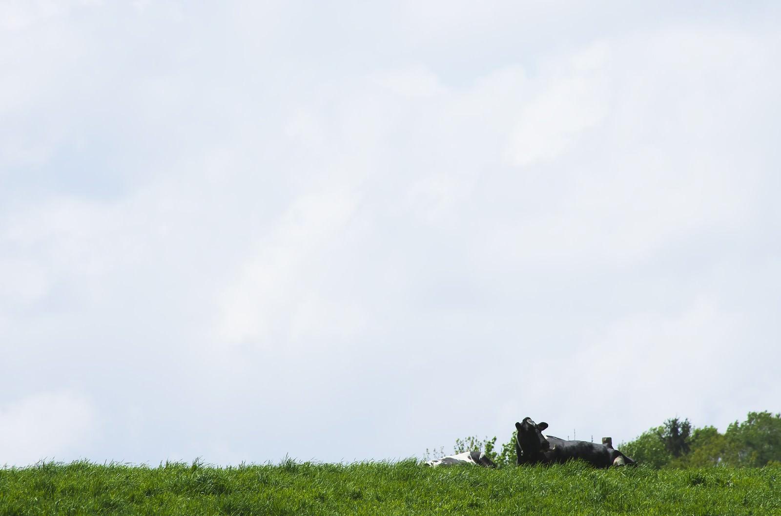 「放牧された牛放牧された牛」のフリー写真素材を拡大