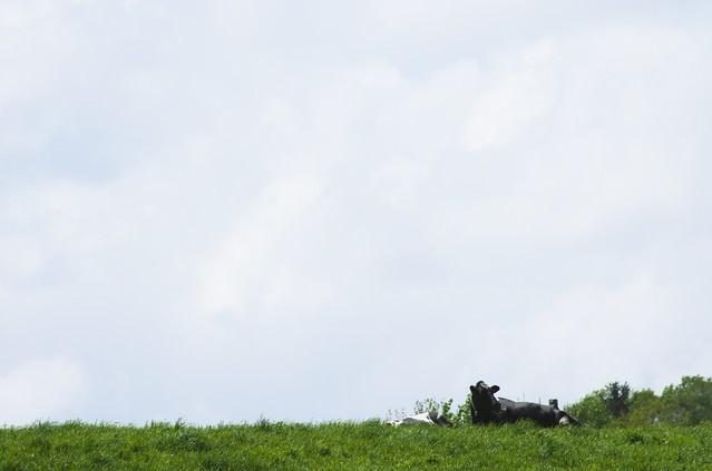 放牧された牛の写真