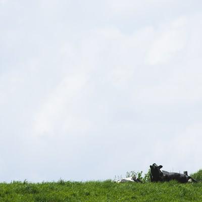 「放牧された牛」の写真素材