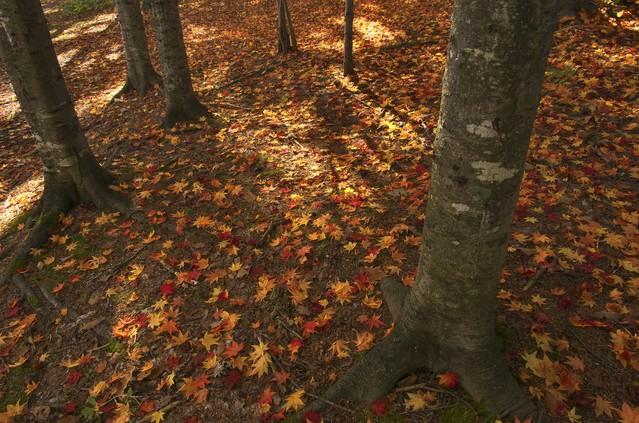 黄葉した落ち葉の写真