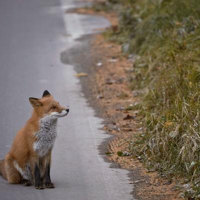 「舗装道路とキタキツネ」の写真素材