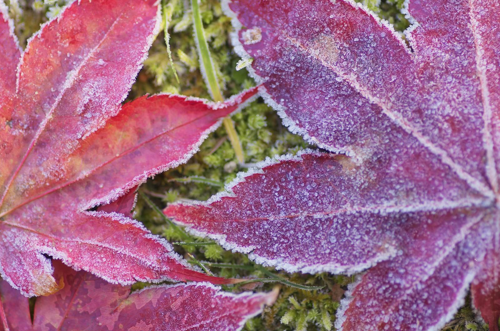 「凍った落ち葉」の写真