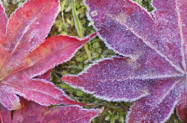 凍った落ち葉の写真