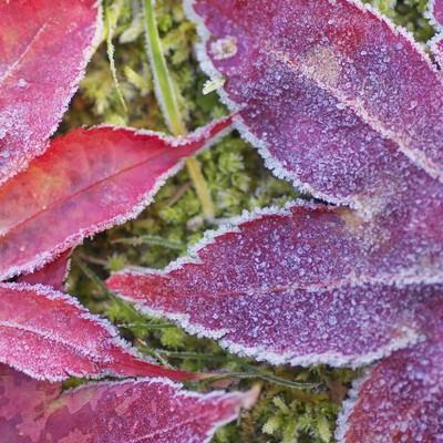 「凍った落ち葉」の写真素材