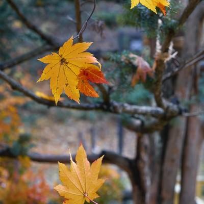 「散る紅葉」の写真素材