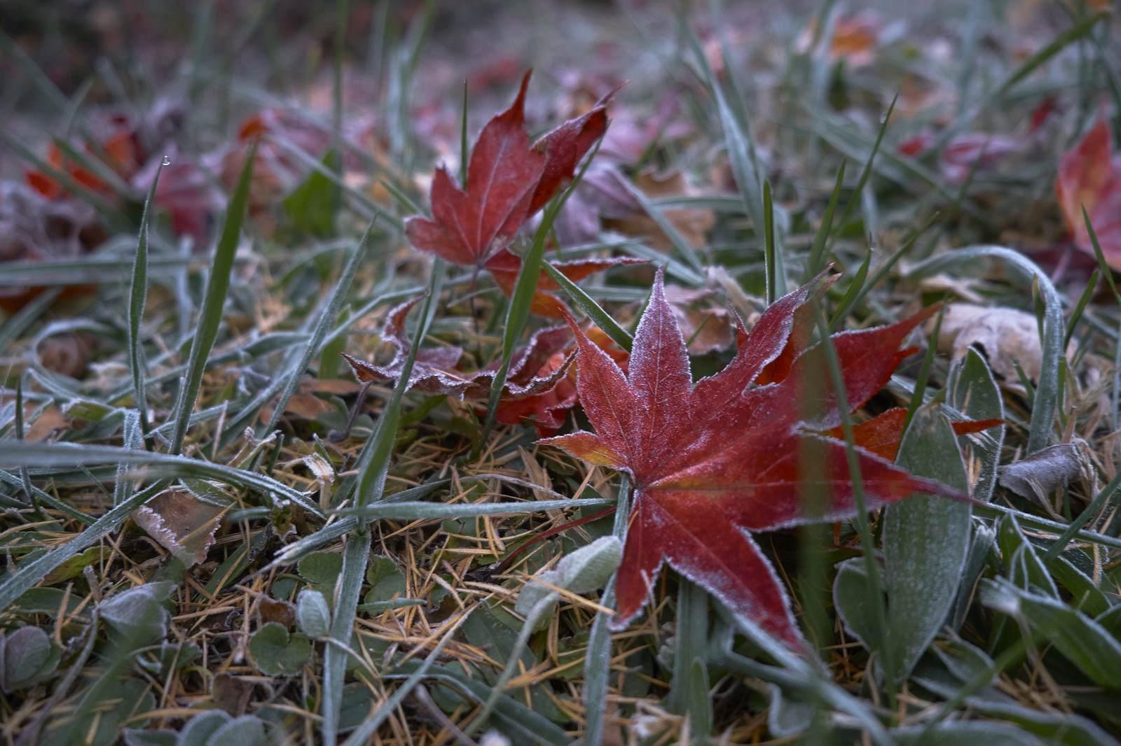 「赤い落ち葉に霜」の写真