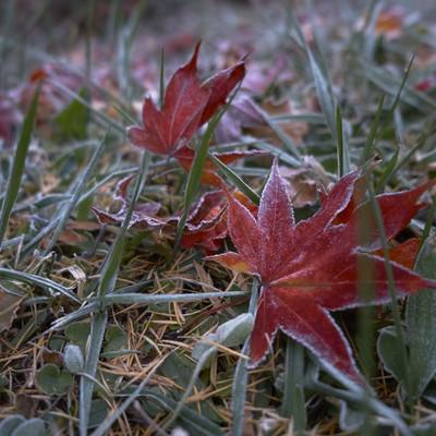 「赤い落ち葉に霜」の写真素材