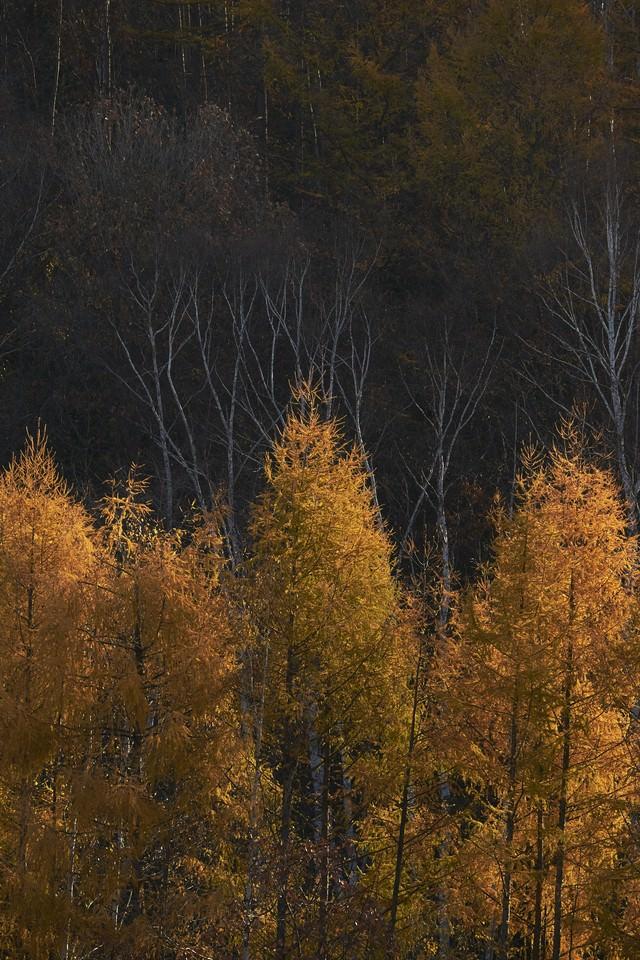 黄色いカラマツの紅葉の写真