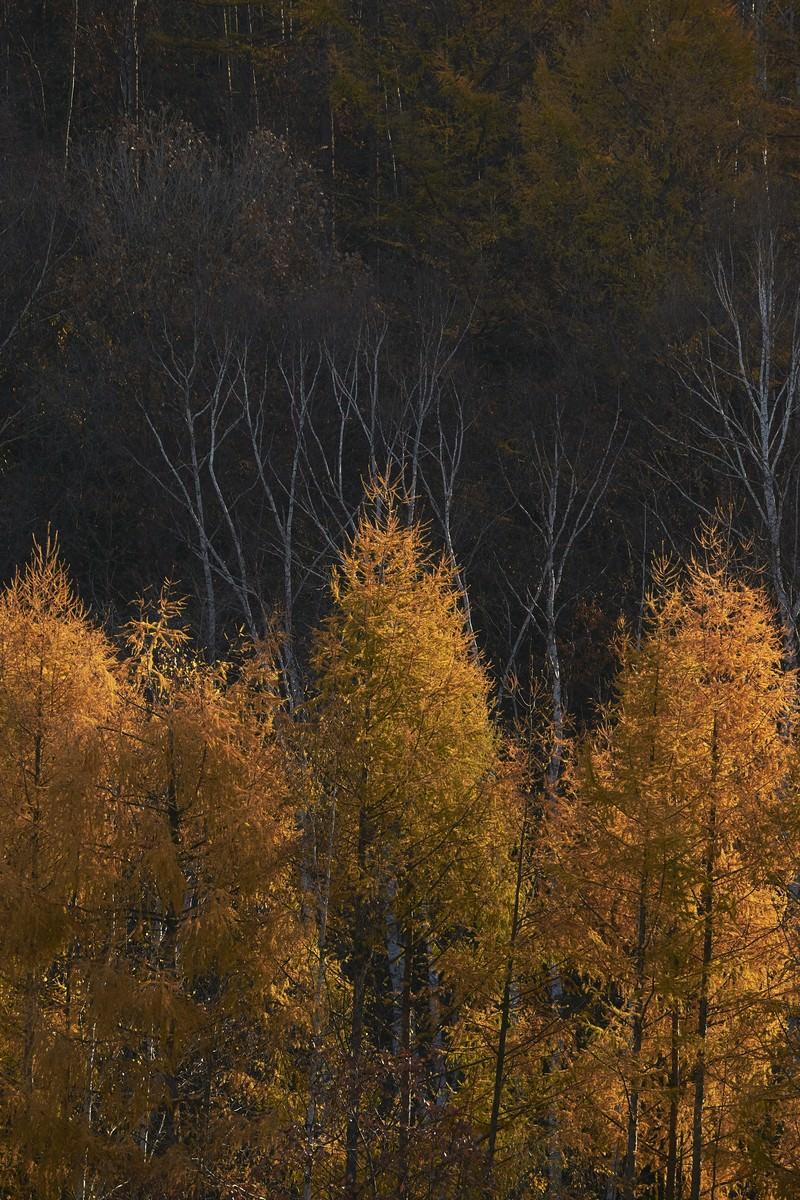 「黄色いカラマツの紅葉」の写真