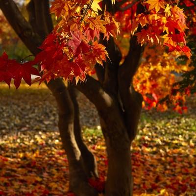 真っ赤に染まった紅葉の写真