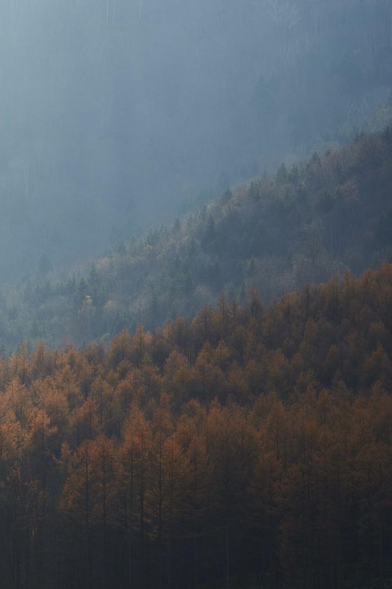 「カラマツの紅葉」の写真