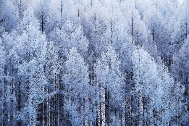 「霧氷の山林」のフリー写真素材