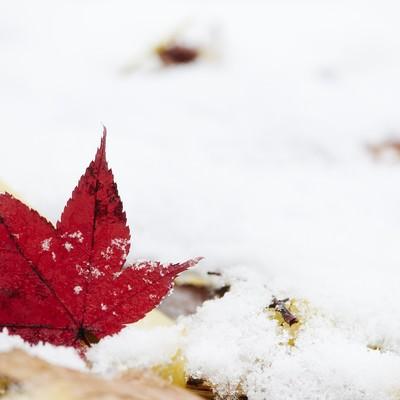 雪の中のモミジの写真