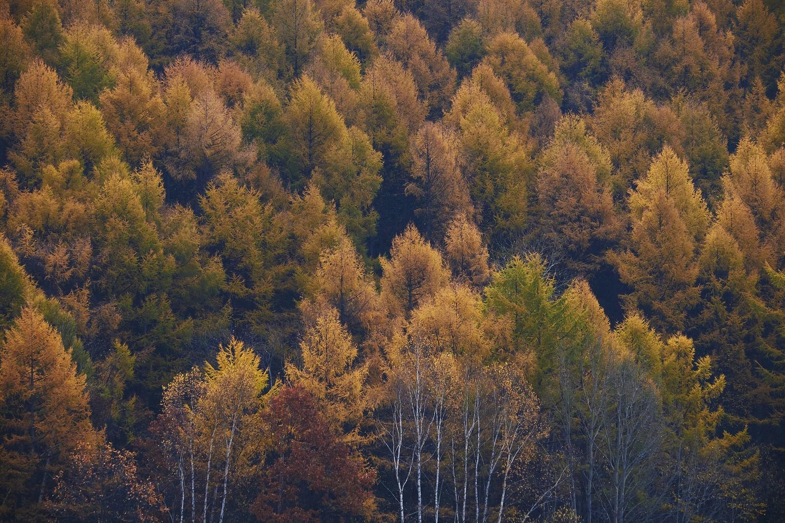 「黄葉する針葉樹」の写真