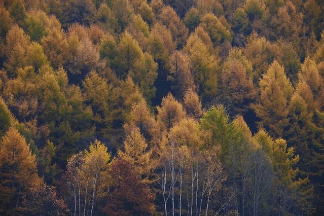 黄葉する針葉樹の写真