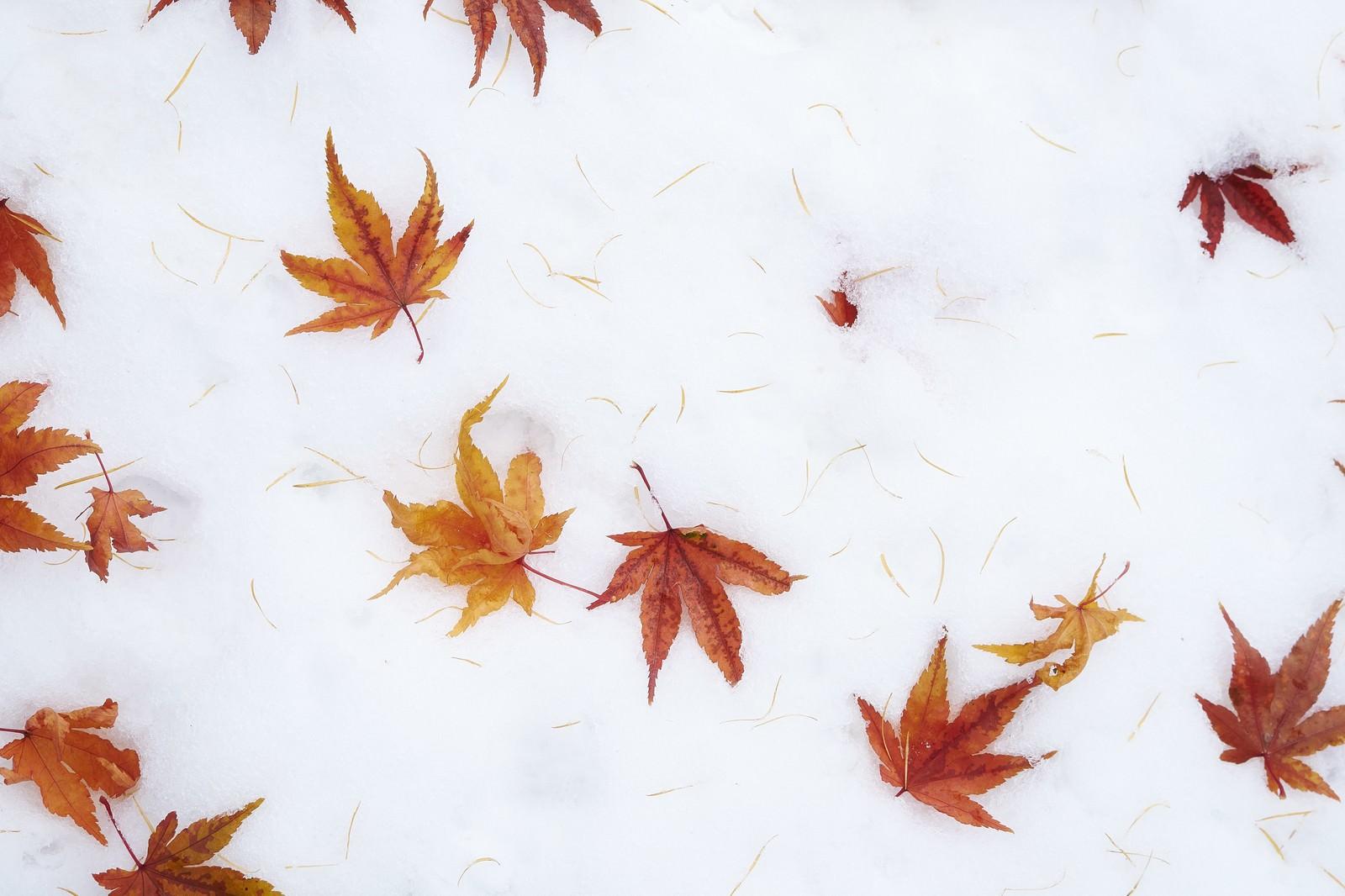 「雪の上に散らばるモミジ」の写真