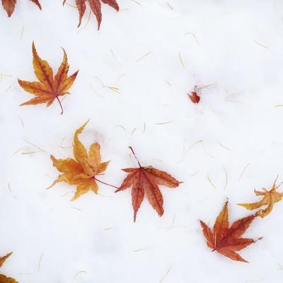 「雪の上に散らばるモミジ」の写真素材
