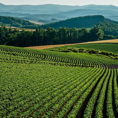 「美瑛の畑」の写真素材