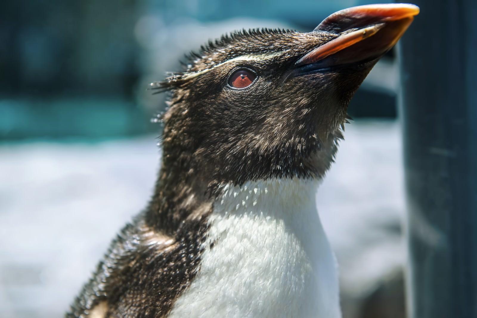 「上を向くペンギン」の写真