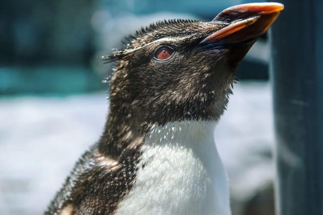 上を向くペンギンの写真