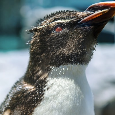 「上を向くペンギン」の写真素材