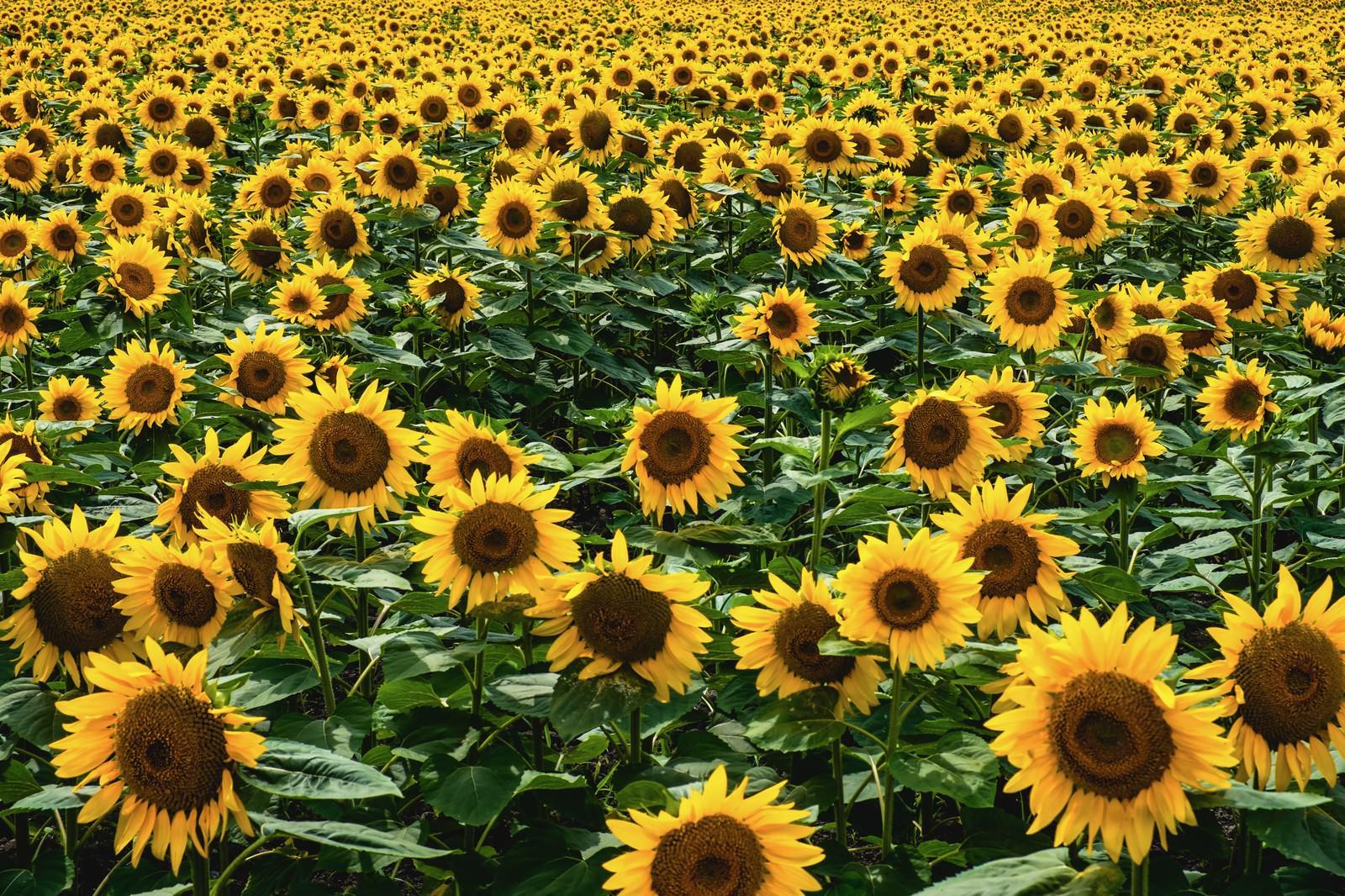 「一面のひまわり畑」の写真