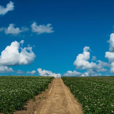 「じゃがいも畑と一本道」の写真素材