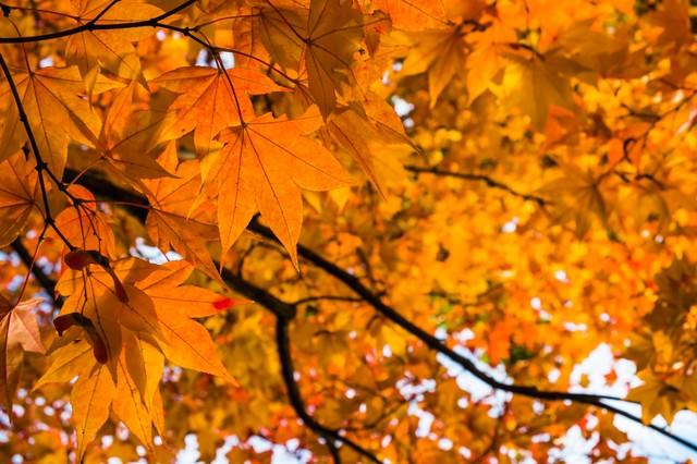 黄葉の秋の写真