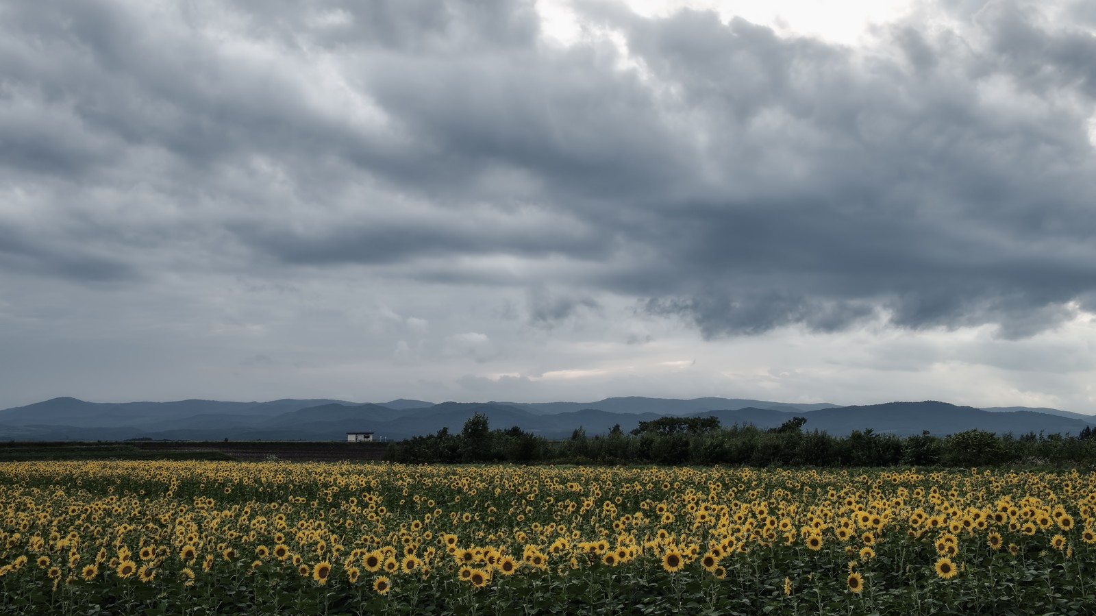 「曇り空とひまわり畑」の写真