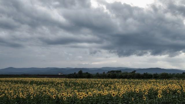 曇り空とひまわり畑の写真