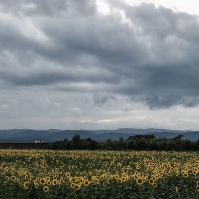 「曇り空とひまわり畑」の写真素材