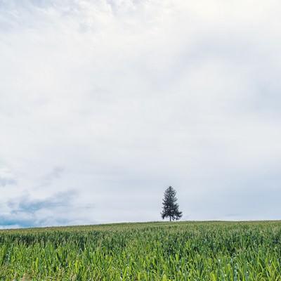 「草原の中に生える一本の木」の写真素材