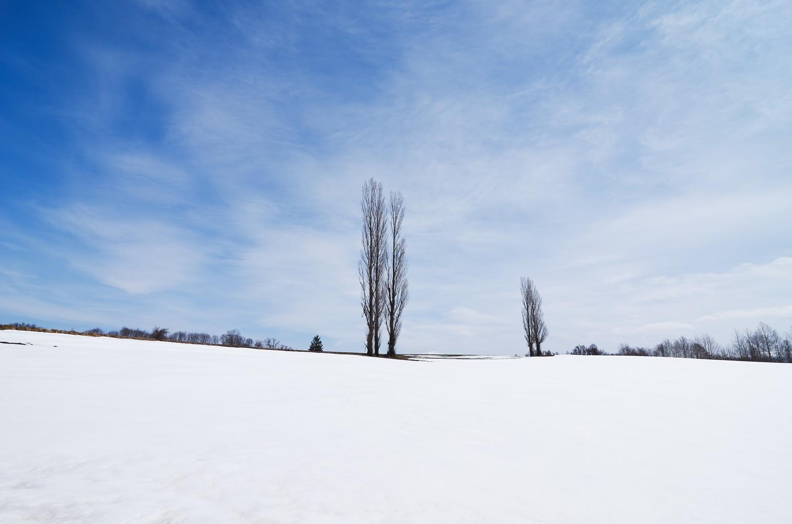 「雪の残るポプラの木」の写真