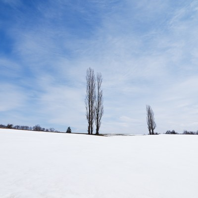 雪の残るポプラの木の写真