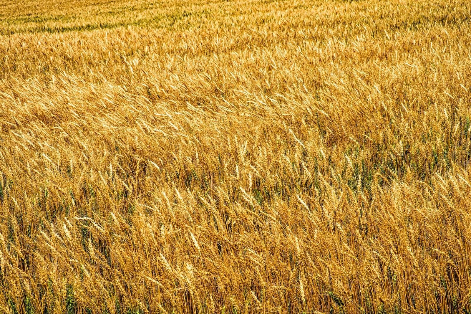 「辺り一面に広がる麦畑」の写真