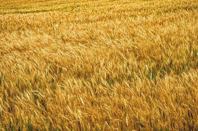 辺り一面に広がる麦畑の写真