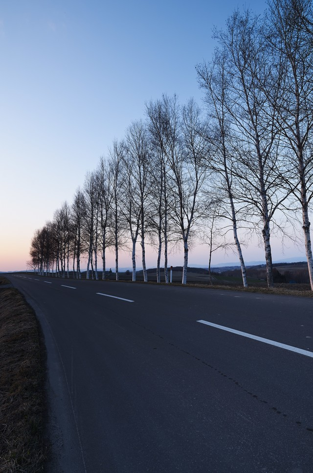白樺と直線道路の写真