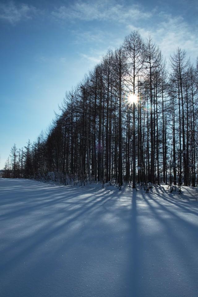 雪とカラマツの林の写真
