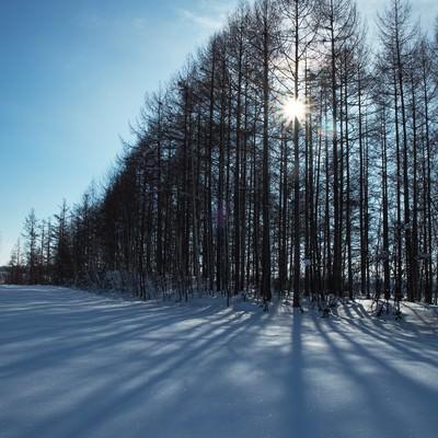 「雪とカラマツの林」の写真素材