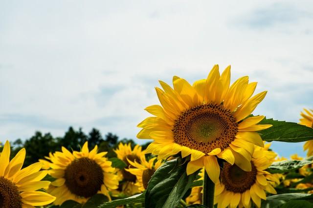 元気に咲く向日葵の写真
