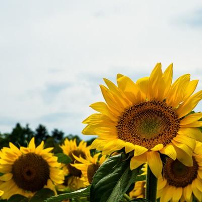 「元気に咲く向日葵」の写真素材