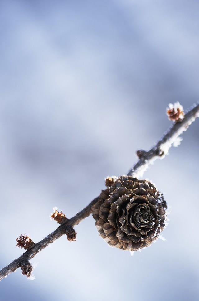 凍った松ぼっくりの写真