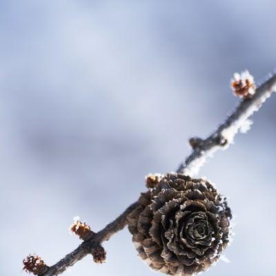 「凍った松ぼっくり」の写真素材