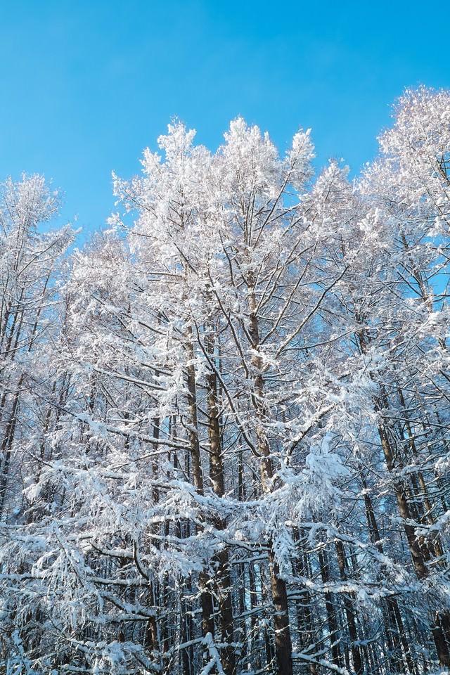 雪化粧した林の写真