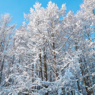 「雪化粧した林」の写真素材