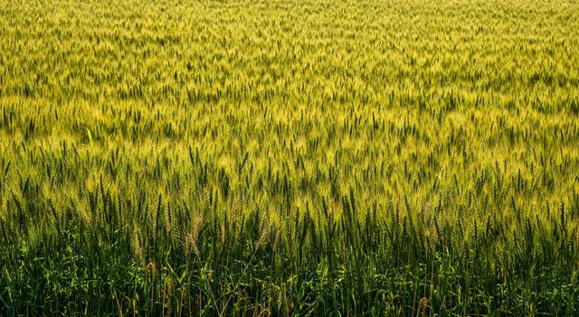 一面の麦畑の写真